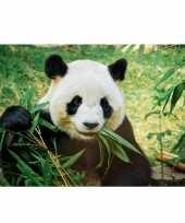 Poster natuur panda pandabeer 84 x 59 cm